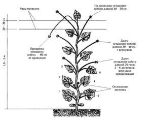 Как выращивать огурцы в теплице: пошаговая инструкция