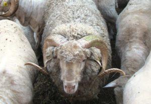 О разведении баранов: с чего начать, расходы и прибыль