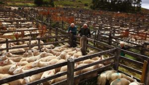 С чего начать выгодное разведение овец: бизнес план